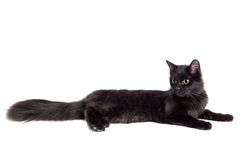 Side view of a Black Cat on white Royalty Free Stock Photos