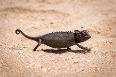 A black chameleon in the Namib desert stock image
