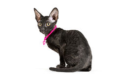 Side view of black Cornish Rex kitten Stock Photo