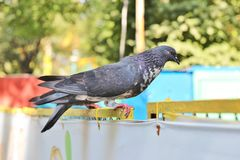 Side view of black feral pigeon Royalty Free Stock Images