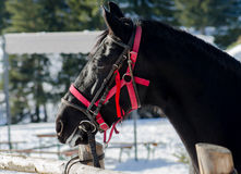 Side view of black horse head in winter time with red harness Stock Photos