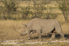 Side view of a Black Rhinoceros (Diceros bicornis) Stock Photography