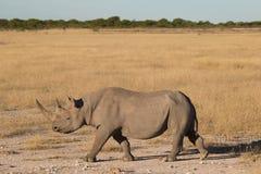 Side view of a Black Rhinoceros (Diceros bicornis) Royalty Free Stock Image