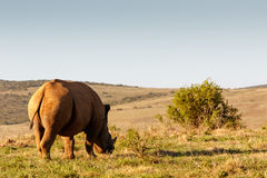 Side view of a Black Rhinoceros eating grass Stock Images