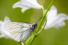 Side view black-veined white butterfly aporia crataegi stalk w Stock Images