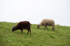 Side view on a black and a white sheep feeding grass in rhede emsland germany royalty free stock photo