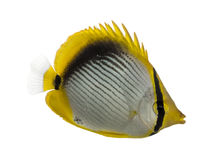 Side view of a Blackback Butterflyfish, Chaetodon melannotus. Isolated on white Stock Photos