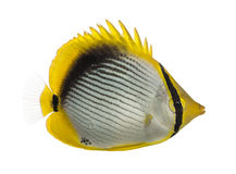 Side view of a Blackback Butterflyfish, Chaetodon melannotus. Isolated on white Royalty Free Stock Photos