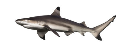 Side view of a Blacktip reef shark, Carcharhinus melanopterus. Isolated on white Royalty Free Stock Images