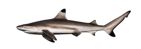 Side view of a Blacktip reef shark, Carcharhinus melanopterus. Isolated on white royalty free stock photo