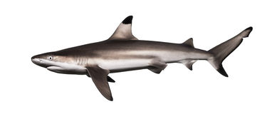 Side view of a Blacktip reef shark, Carcharhinus melanopterus. Isolated on white Stock Image
