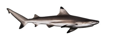 Side view of a Blacktip reef shark, Carcharhinus melanopterus Royalty Free Stock Image