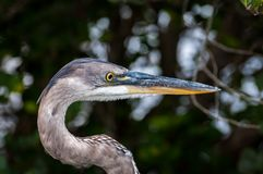 Side view of Blue heron`s head Royalty Free Stock Photos