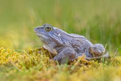 side view of Blue Moor frog Stock Images
