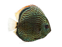 Side view of a Blue snakeskin discus, Symphysodon aequifasciatus Stock Image