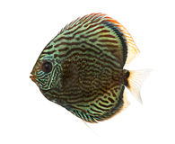 Side view of a Blue snakeskin discus, Symphysodon aequifasciatus Royalty Free Stock Images