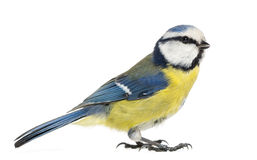 Side view of a Blue Tit, Cyanistes caeruleus
