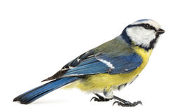 Side view of a Blue Tit, Cyanistes caeruleus Royalty Free Stock Photos