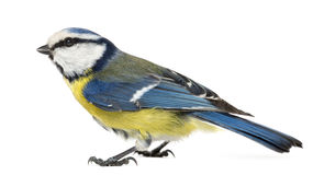 Side view of a Blue Tit, Cyanistes caeruleus Royalty Free Stock Image