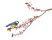 Side view of a Blue Tit perching on a blossoming branch Stock Photo