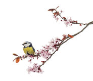 Side view of a Blue Tit perching on a blossoming branch Royalty Free Stock Photos