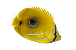 Side view of a Bluelashed butterflyfish, Chaetodon bennetti Stock Image