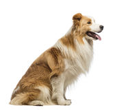 Side view of a Border Collie, 1.5 years old, sitting and panting Royalty Free Stock Photos