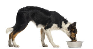 Side view of a Border collie eating from its bowl Stock Photo