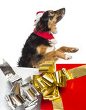 Side view of a Border collie going out of present boxes Royalty Free Stock Photo