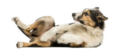Side view of a Border collie lying on its back, submissive. Isolated on white royalty free stock images