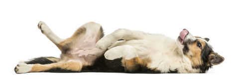 Side view of a Border collie lying on its back, submissive. Isolated on white stock photos
