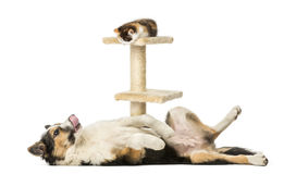Side view of a Border collie lying on its back Stock Images