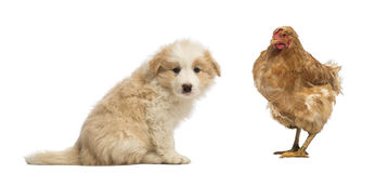 Side view of a Border Collie puppy, 6 weeks old, sitting and looking at the camera, with a hen standing next to him Stock Photos