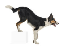 Side view of Border collie, rear legs up on a cube, isolated on Royalty Free Stock Photography
