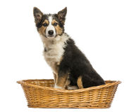 Side view of a Border collie sitting in a wicker basket Stock Images