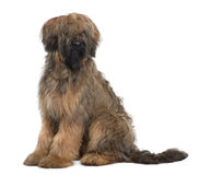 Side view of Briard, sitting and looking away. Briard, 9 Months Old, sitting in front of white background Stock Images