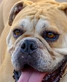The side view of a British bulldog Stock Image