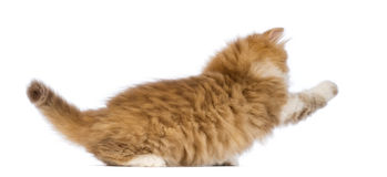 Side view of a British Longhair kitten, 2 months old, playing Royalty Free Stock Photos
