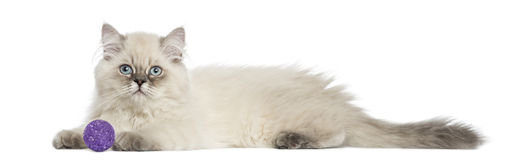 Side view of a British Longhair kitten lying with ball, 5 months Stock Photo
