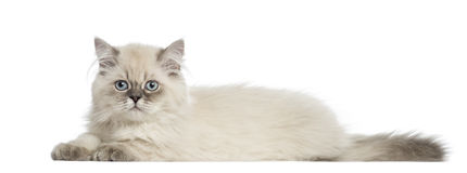 Side view of a British Longhair kitten lying, 5 months old Stock Photo