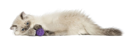 Side view of a British Longhair kitten lying, playing with ball Stock Images