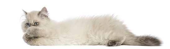 Side view of a British Longhair kitten lying, playing Royalty Free Stock Photography
