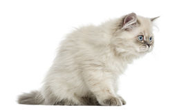 Side view of a British Longhair kitten sitting, alert, 5 months Royalty Free Stock Photo