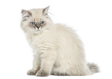 Side view of a British Longhair kitten sitting, 5 months old Royalty Free Stock Images