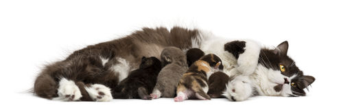 Side view of a British Longhair lying, feeding its kittens royalty free stock images