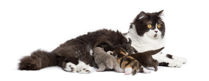Side view of a British Longhair lying, feeding its kittens Royalty Free Stock Photography