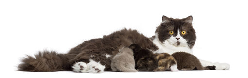 Side view of a British Longhair lying, feeding its kittens Stock Photos