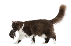 Side view of a British Longhair walking, carrying kitten Stock Photo