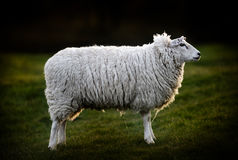 Side View of British Sheep Stock Photography