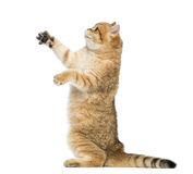 Side view of a British shorthair on hind legs, pawing up Stock Photography